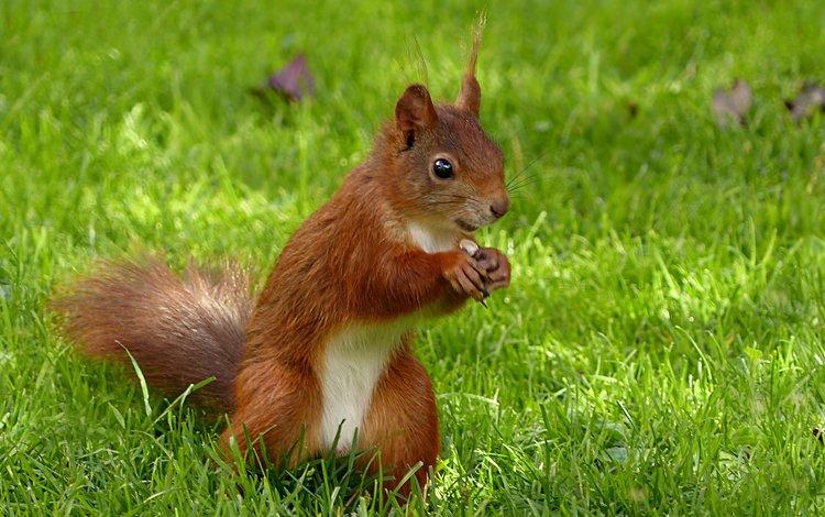 трава, белка, белочка, grass, protein, squirrel