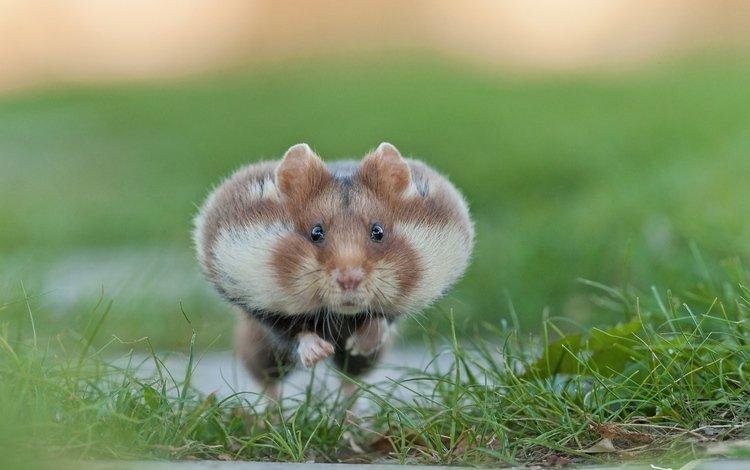 трава, хомяк, грызун, хомячок, щёки, grass, hamster, rodent, cheeks