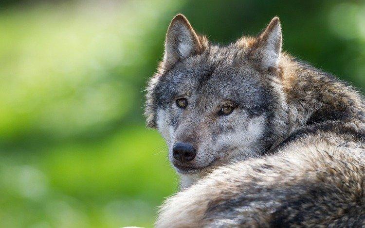 глаза, взгляд, хищник, волк, eyes, look, predator, wolf