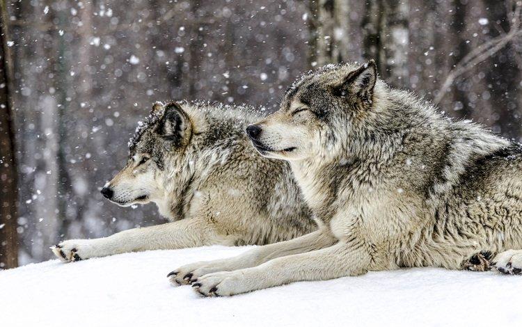 снег, лес, зима, хищники, волки, snow, forest, winter, predators, wolves
