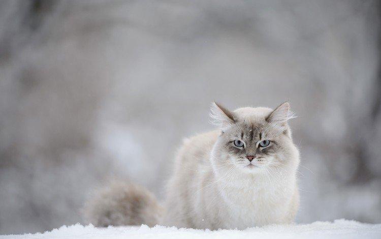 снег, зима, кот, мордочка, усы, кошка, взгляд, snow, winter, cat, muzzle, mustache, look