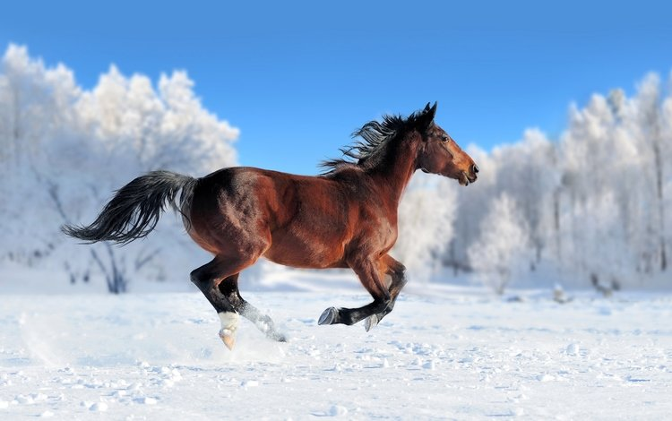 лошадь, снег, зима, конь, грива, бег, хвост, horse, snow, winter, mane, running, tail