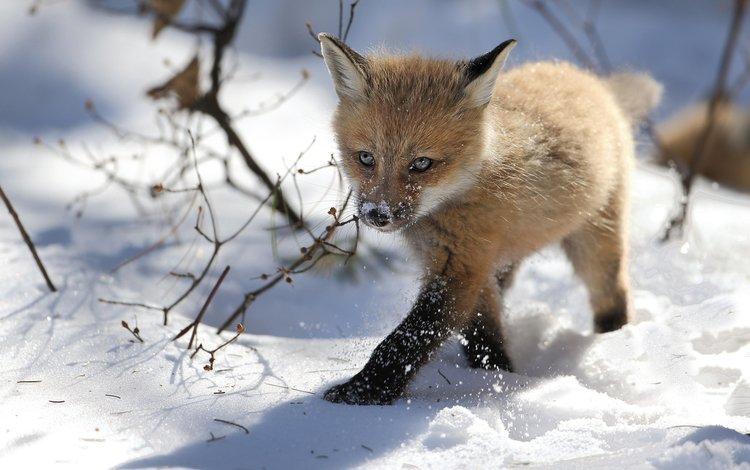 снег, зима, лиса, лисица, лисенок, denis dumoulin, snow, winter, fox