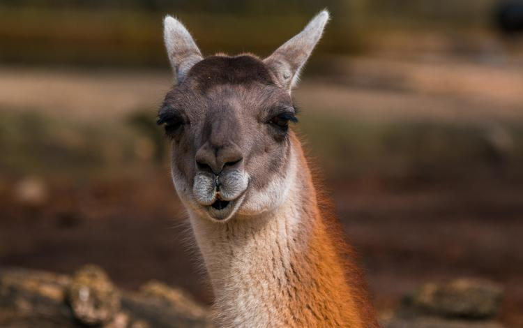 eyes, face, look, animal, lama, alpaca