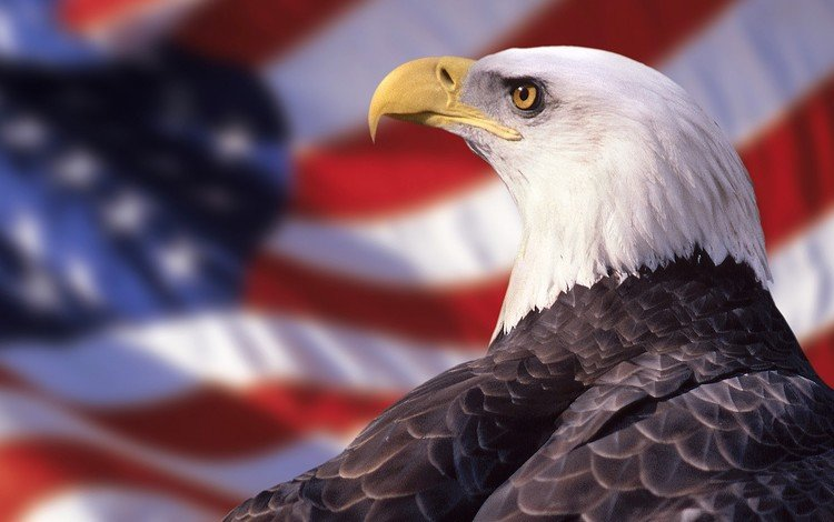 eagle, flag, bird, beak, feathers, bald eagle, bird of prey