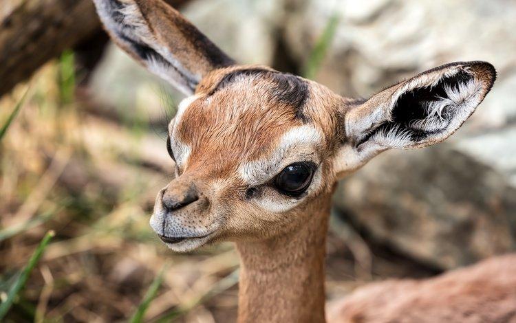глаза, взгляд, животное, уши, антилопа, геренук, жирафовая газель, газель, eyes, look, animal, ears, antelope, gerenuk, giraffidae gazelle, gazelle