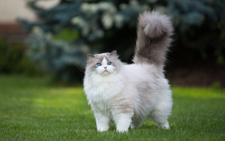 глаза, трава, кот, мордочка, усы, кошка, взгляд, рэгдолл, муся, musya, eyes, grass, cat, muzzle, mustache, look, ragdoll