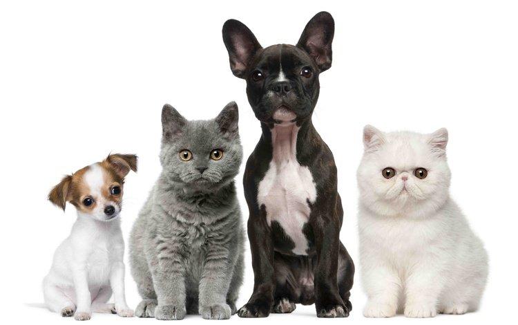cats, puppies, kids, kittens, dogs, british, french bulldog, chihuahua, exotic