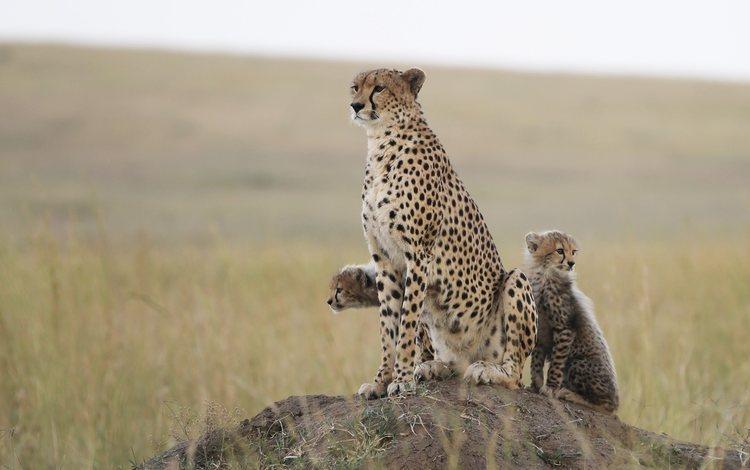 природа, хищник, гепард, гепарды, детеныши, nature, predator, cheetah, cheetahs, cubs