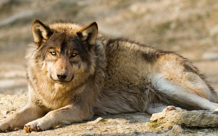 face, look, predator, animal, wolf