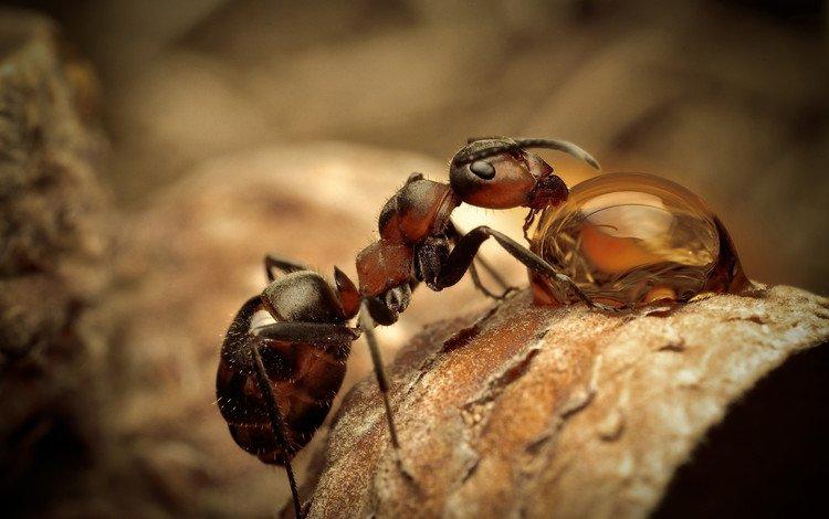 макро, насекомое, капля, муравей, сухой лист, macro, insect, drop, ant, dry leaf