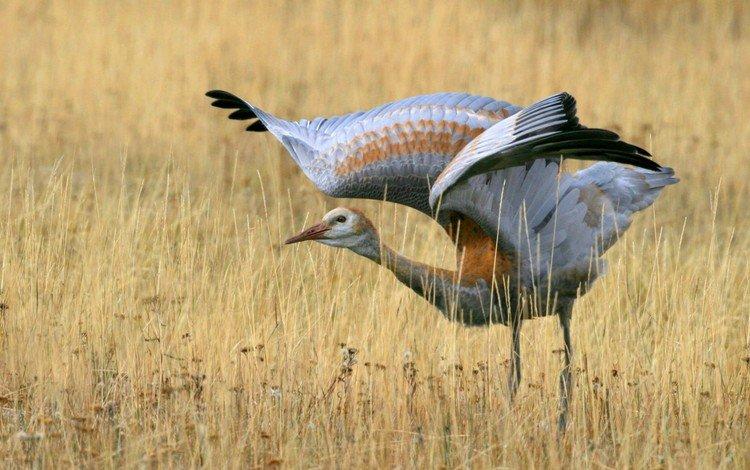 трава, поле, крылья, птица, взмах, журавль, grass, field, wings, bird, stroke, crane