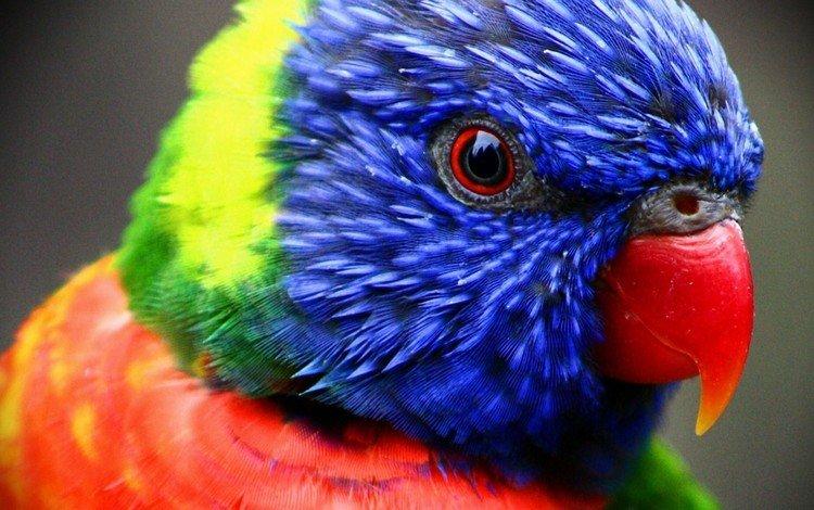 птица, клюв, перья, попугай, лорикет, многоцветный лорикет, bird, beak, feathers, parrot, rainbow lorikeet, multicolor lorikeet