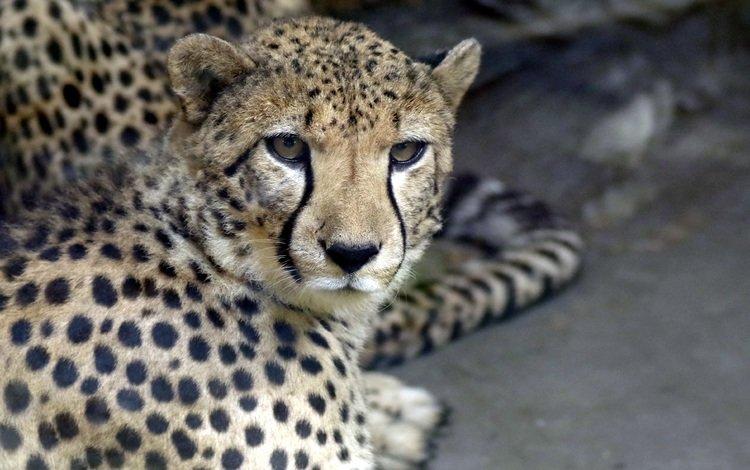 морда, взгляд, хищник, гепард, face, look, predator, cheetah