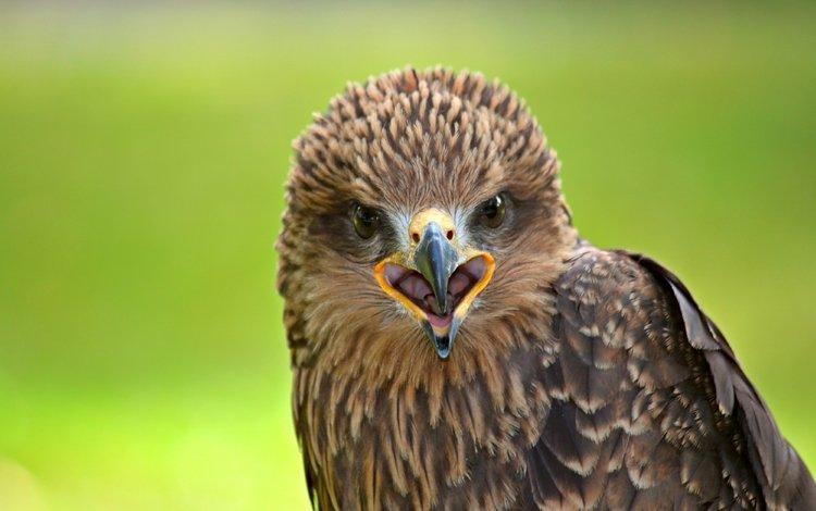 хищник, птица, клюв, сокол, predator, bird, beak, falcon