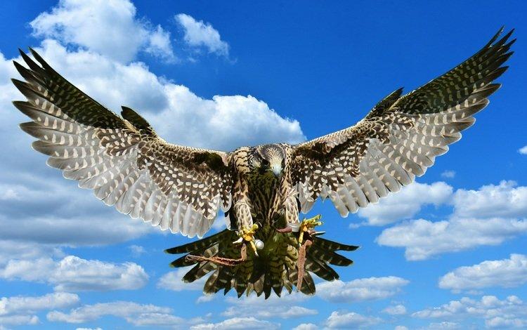 небо, облака, полет, крылья, хищник, птица, сокол, the sky, clouds, flight, wings, predator, bird, falcon