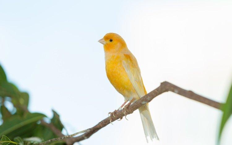 ветка, дерево, птица, клюв, перья, зяблик, grassland yellow finch, branch, tree, bird, beak, feathers, chaffinch