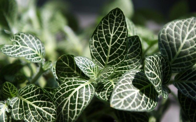листья, макро, прожилки, растение, фиттония, leaves, macro, veins, plant, fittonia