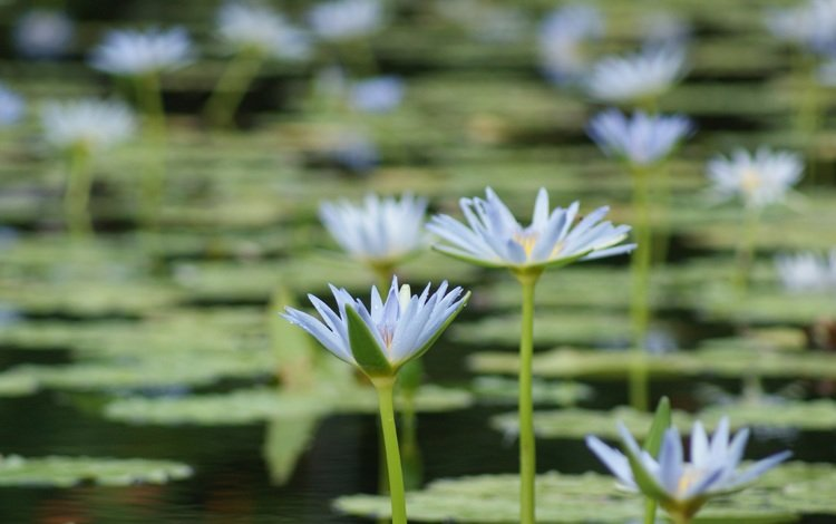 flowers, lake, petals, water lilies, water lily