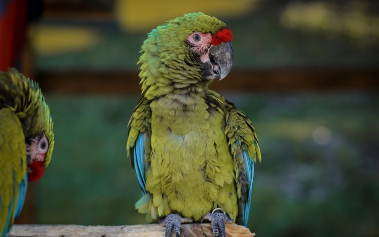birds, beak, pair, feathers, ara, parrots