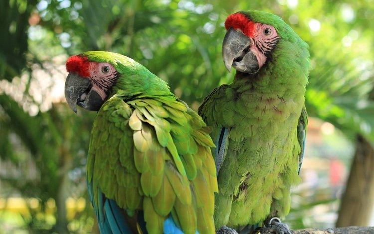 птицы, клюв, пара, перья, ара, попугаи, birds, beak, pair, feathers, ara, parrots