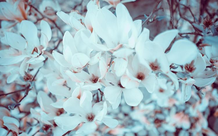 цветы, цветение, ветки, весна, магнолия, flowers, flowering, branches, spring, magnolia