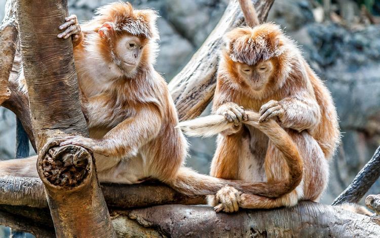 пара, забота, дикая природа, зоопарк, приматы, обезьяны, макака, pair, care, wildlife, zoo, primates, monkey
