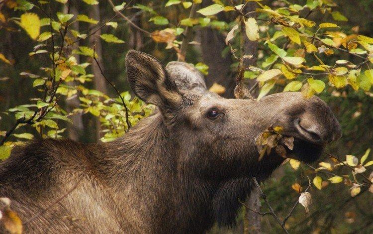 лес, листья, ветки, осень, лось, forest, leaves, branches, autumn, moose
