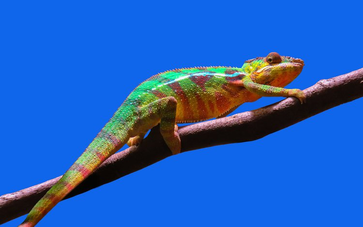 небо, ветка, ящерица, хамелеон, пресмыкающееся, the sky, branch, lizard, chameleon, reptile