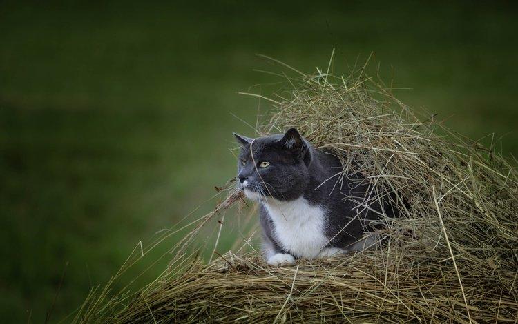 кот, мордочка, усы, сено, кошка, взгляд, стог, cat, muzzle, mustache, hay, look, stack