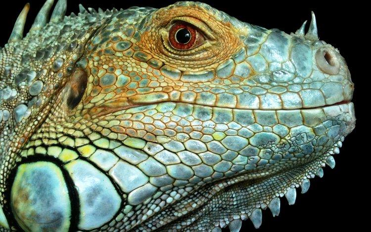 макро, фон, ящерица, рептилия, игуана, macro, background, lizard, reptile, iguana