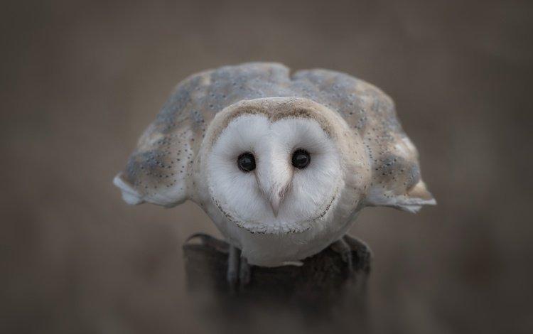 глаза, сова, взгляд, птица, клюв, перья, сипуха, eyes, owl, look, bird, beak, feathers, the barn owl