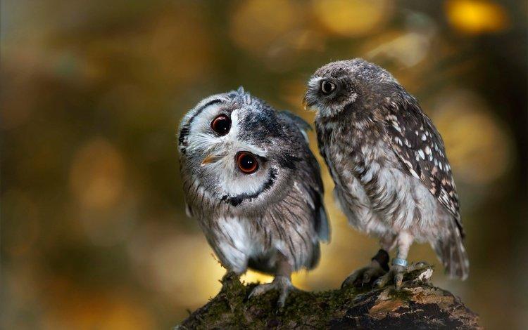 сова, природа, птицы, парочка, коряга, боке, совы, anja ellinger, owl, nature, birds, a couple, snag, bokeh, owls