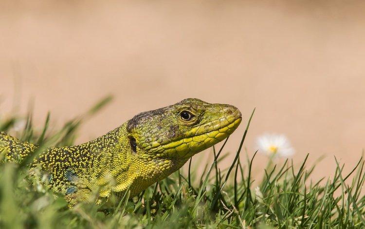 трава, ящерица, рептилия, жемчужная ящерица, глазчатая ящерица, grass, lizard, reptile, pearl lizard, mottled lizard