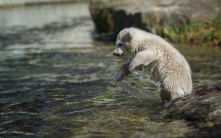 вода, камни, животное, белый медведь, детеныш, медвежонок, умка, anja ellinger, water, stones, animal, polar bear, cub, bear, umka