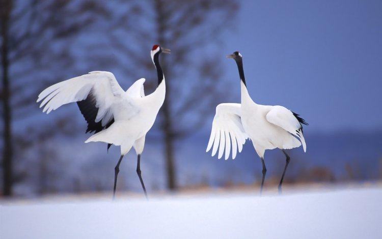небо, снег, зима, крылья, клюв, танец, журавли, японский журавль, the sky, snow, winter, wings, beak, dance, cranes, japanese crane