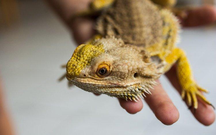 рука, ящерица, рептилия, бородатая агама, агама, hand, lizard, reptile, bearded agama, agama