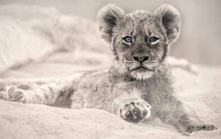 глаза, взгляд, хищник, животное, лев, львёнок, детеныш, eyes, look, predator, animal, leo, lion, cub