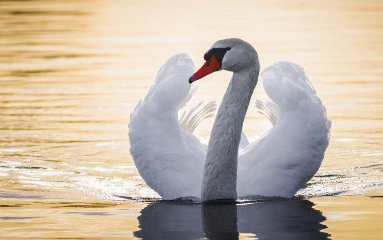 вода, крылья, птица, лебедь, шея, water, wings, bird, swan, neck