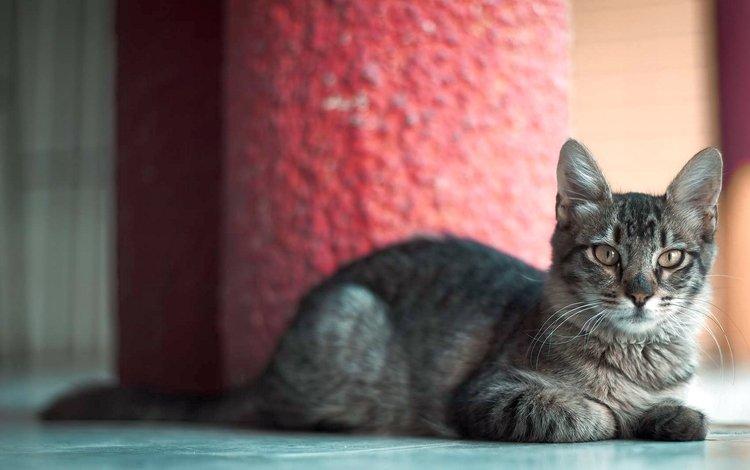 кот, мордочка, усы, кошка, взгляд, котенок, серый, лежа, cat, muzzle, mustache, look, kitty, grey, lying