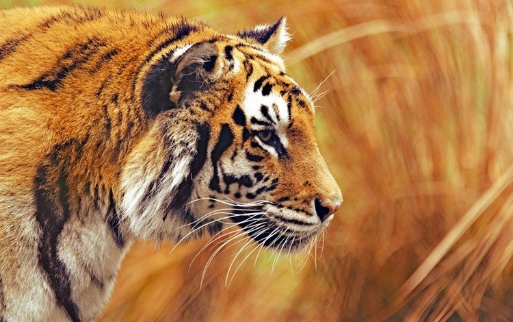 tiger, face, mustache, look, blur, predator, profile, wild cat