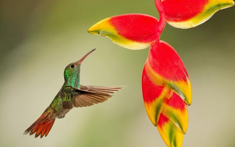 колибри, hummingbird