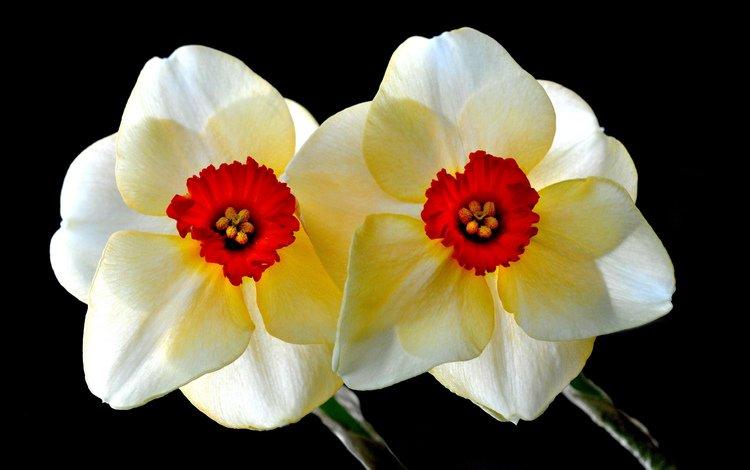 фон, нарциссы, background, daffodils