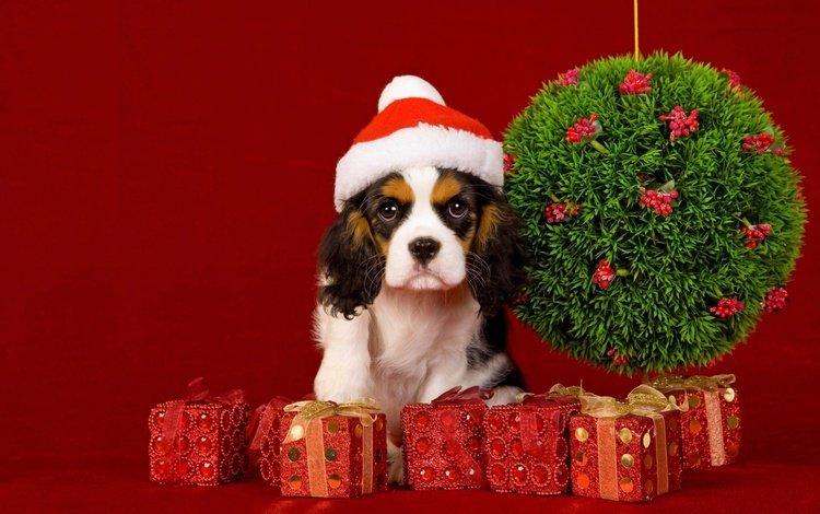 мордочка, взгляд, подарки, собака, щенок, праздник, 2018, красный фон, кавалер-кинг-чарльз-спаниель, cavalier-king-charles-spaniel, muzzle, look, gifts, dog, puppy, holiday, red background