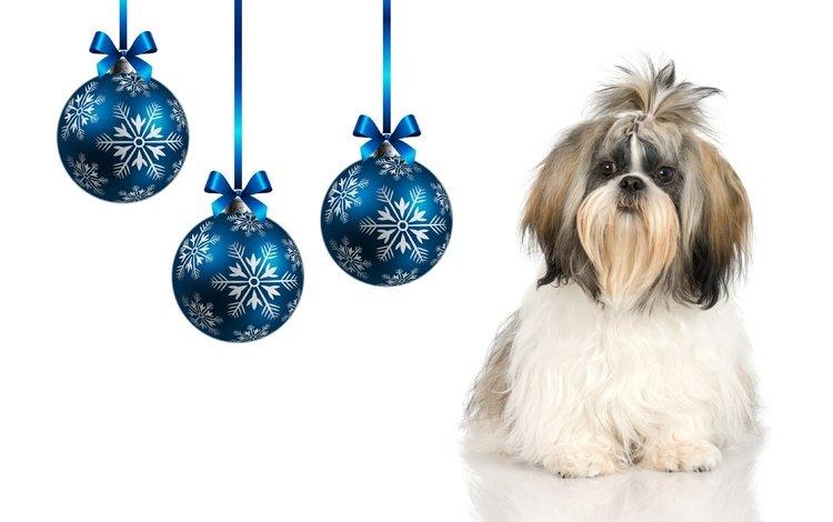 мордочка, взгляд, собака, шарики, щенок, белый фон, праздник, собачка, ши-тцу, shih tzu, muzzle, look, dog, balls, puppy, white background, holiday