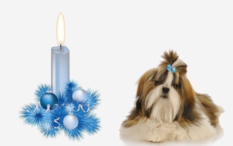 новый год, украшение, мордочка, ши-тцу, взгляд, свечa, собака, щенок, свечка, белый фон, елочные украшения, new year, decoration, muzzle, shih tzu, look, dog, puppy, candle, white background, christmas decorations