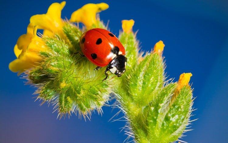 насекомое, цветок, божья коровка, крупным планом, insect, flower, ladybug, closeup