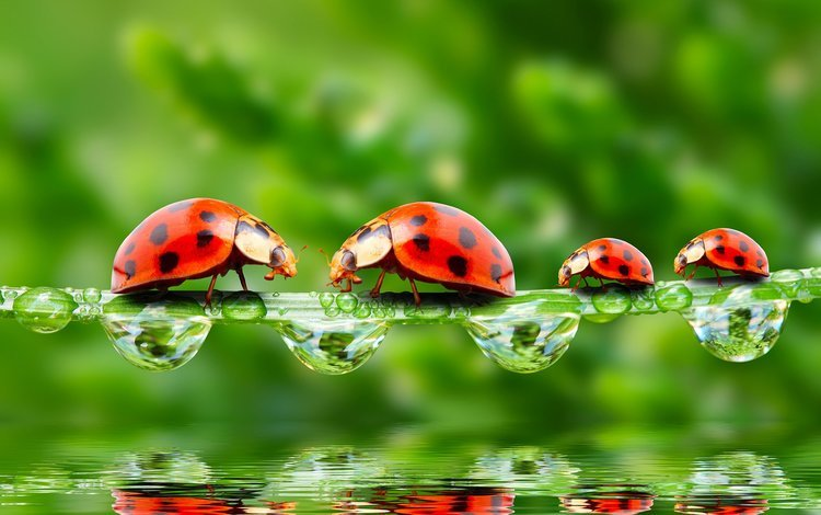water, the sun, greens, macro, rosa, drops, insects, ladybugs, ladybug, bugs