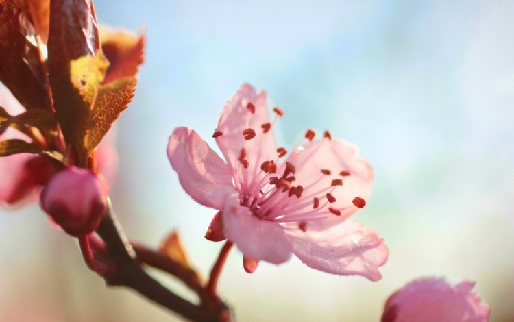 flowers, branch, flowering, leaves, petals, spring, cherry