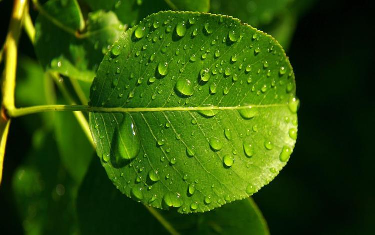 leaves, rosa, drops, veins